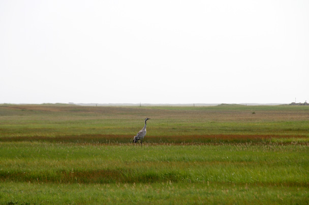 We saw a crane - Bayinbuluke Grasslands, Xinjiang, July 2016
