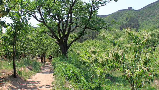A path leads through chestnut orchards, with the Great Wall on the ridge behind