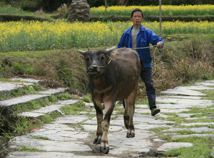 Young water buffalo, Beijing Hikers Wuyuan Sea of Flowers trip, 2010/04/3-5