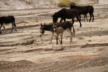 a donkey family, Beijing Hikers Zhangye Danxia, October07, 2011