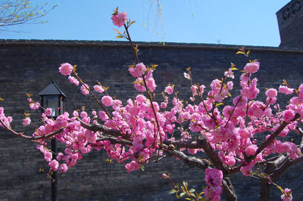 The cherry trees, Beijing Hikers Two days in Pingyao Ancient City , 2013/04/06