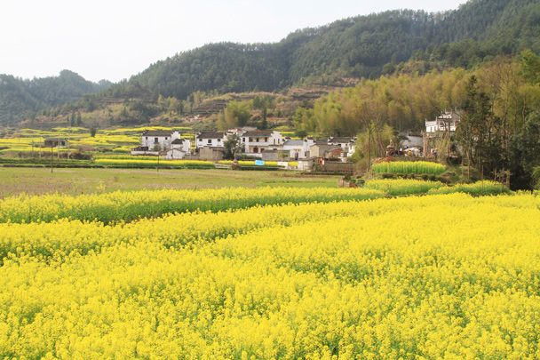 A small village, surrounded by fields of canola flowers - Wuyuan County, Jiangxi Province, 2014/03