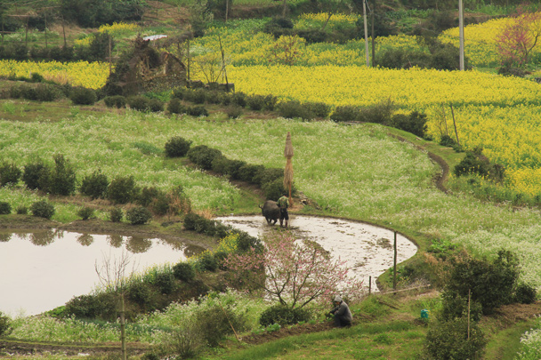 A water buffalo in a rice paddy. Water buffalo are one of the main beasts of burden in the area - Wuyuan County, Jiangxi Province, 2014/03