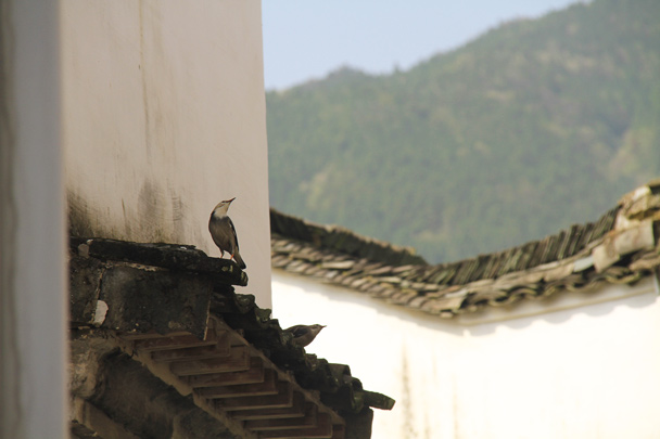 Huijie spotted some small birds singing - Wuyuan County, Jiangxi Province, 2014/03