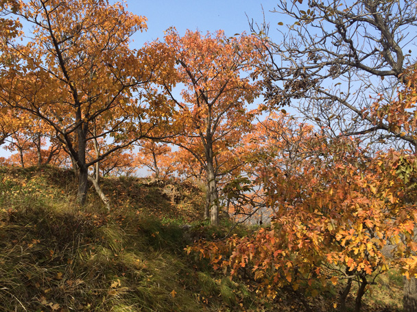 The red and orange leaved trees grew in clusters that covered parts of the hillside - Walk Down the Incense Trail hike, 2014/10/23