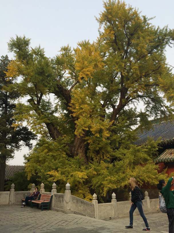 The leaves on this ancient ginko tree on the temple grounds had also started to change color - Walk Down the Incense Trail hike, 2014/10/23