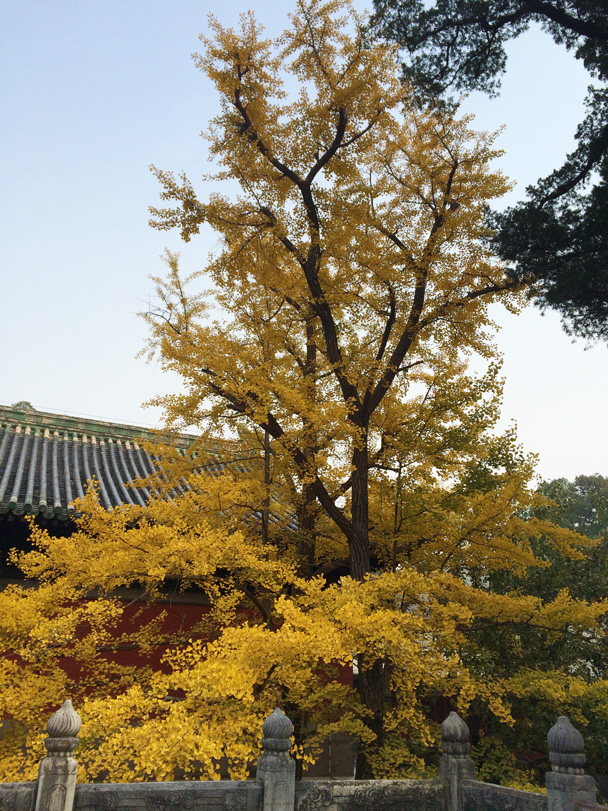 Some of the other trees at the temple had already turned golden yellow - Walk Down the Incense Trail hike, 2014/10/23