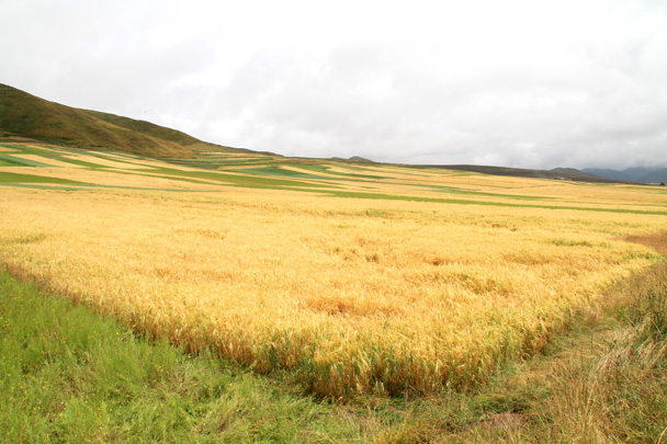 Wheat fields - Xiahe, Labrang Monastery, and Zhagana, Gansu Province, September 2015