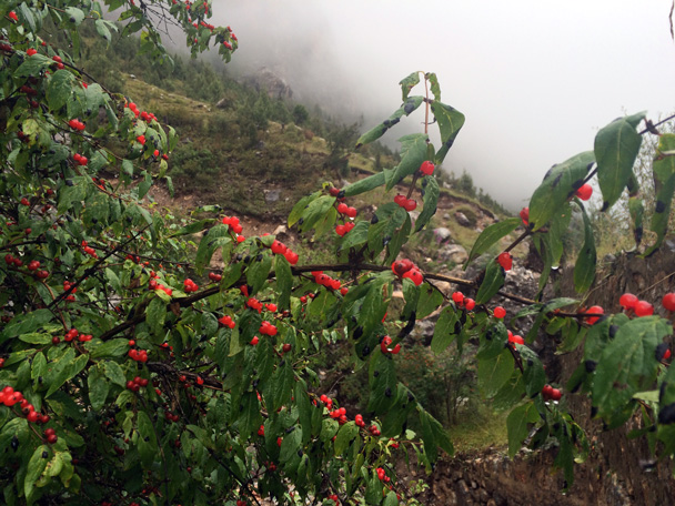 Wild fruit - Xiahe, Labrang Monastery, and Zhagana, Gansu Province, September 2015