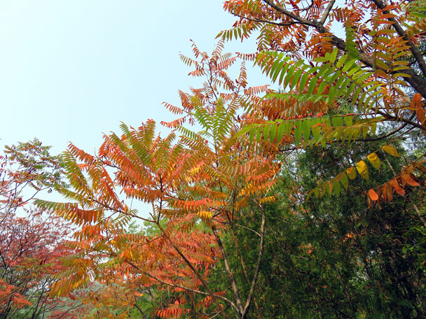 Red and yellow leaves signal autumn - Camping at the Gubeikou Great Wall, 2015/10