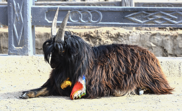 A holy goat! - Labrang Monastery and Tibetan New Year, 2016/02