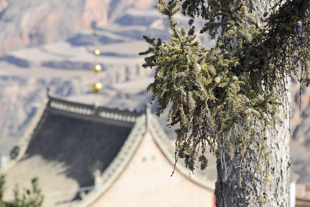 Pine tree behind a temple - Labrang Monastery and Tibetan New Year, 2016/02