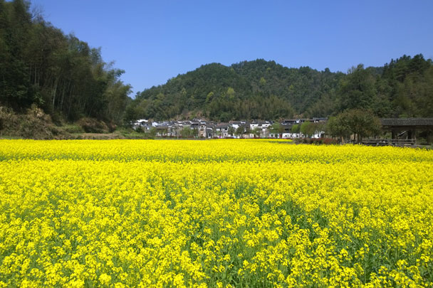 Rapeseed flowering behind the village - Wuyuan, Jiangxi Province, 2016/03