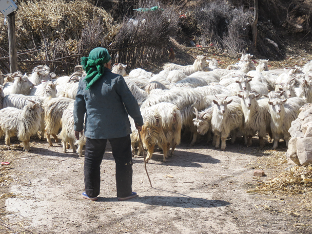 We had to get by these goats - Shuitou Village Loop hike, 2016/03/26