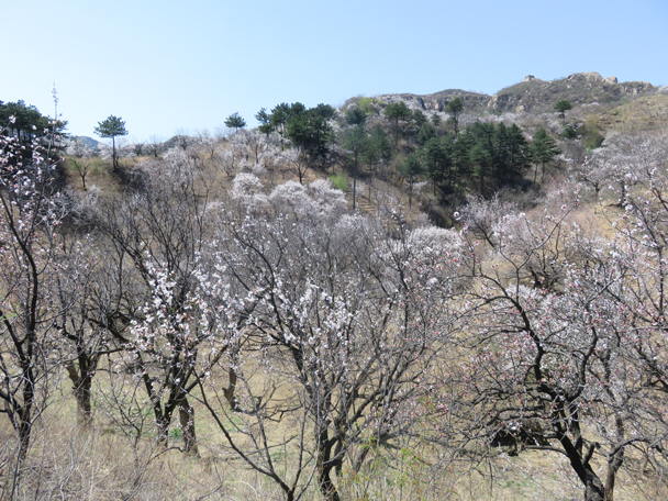 Wild apricot flowers - Longquanyu Great Wall, 2016/04/09