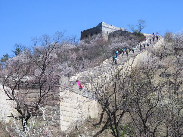 And heading up again, with the wall surrounded by flowers in bloom - Longquanyu Great Wall, 2016/04/09