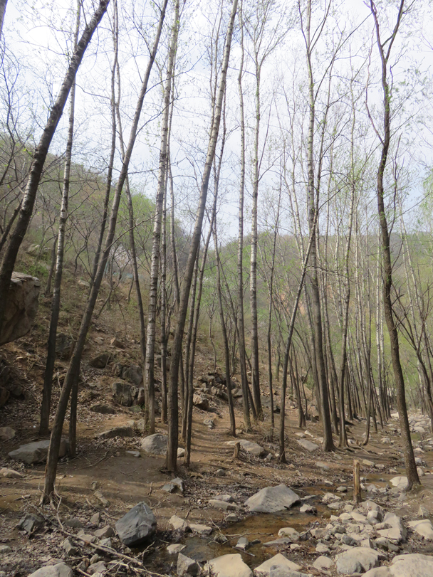 Birch trees in the valley - Longquanyu Great Wall, 2016/04/09