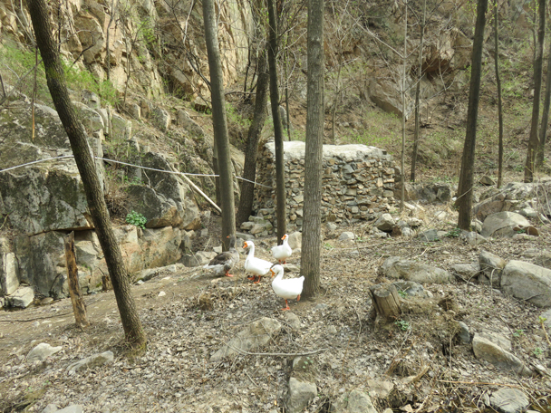 Aggressive geese - Longquanyu Great Wall, 2016/04/09