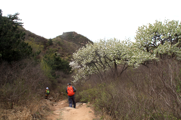 Down into a valley, passing pear trees in bloom - Flower Wood to the Ming Tombs hillwalking challenge, 2016/04/16