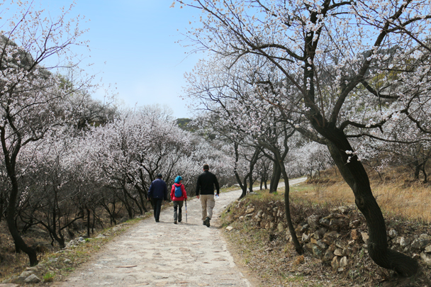 We hiked up to the wall, following a path that passed wild apricot trees in bloom - Stone Valley Great Wall Loop, 2016/4/16