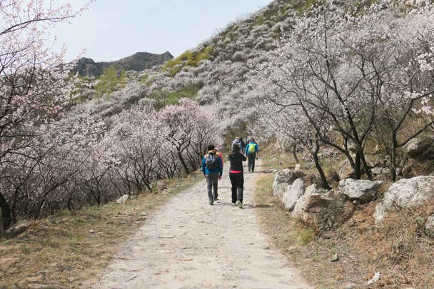 It was just the right time to see the blossoms – a few weeks later they'd all be gone - Stone Valley Great Wall Loop, 2016/4/16