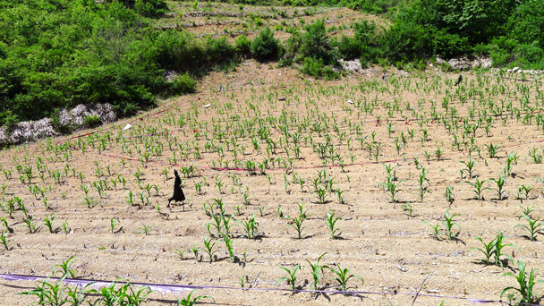 The valley trail took us towards tiny Hemp Village. Here we see the corn just getting started - Gubeikou Great Wall to Jinshanling Great Wall, 2016/5/28