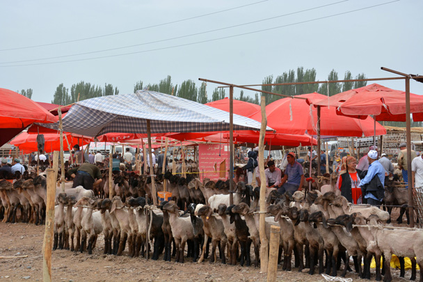 Sheep for sale at the livestock market nearby Kashgar city - Along the Silk Road from Korla to Kashgar, June 2016