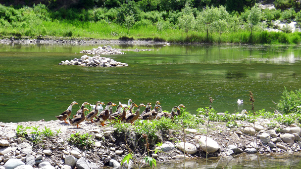 More geese - White River hike, 2016/6/11