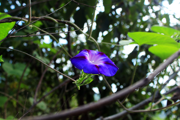 Purple flower on a vine - Walled Village to Huanghuacheng Great Wall, 2016/08/24