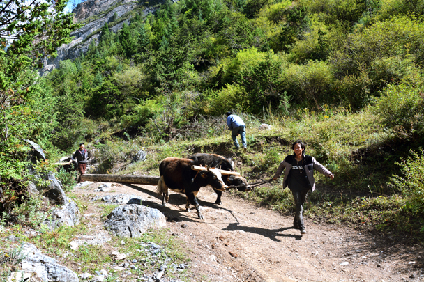 Using yaks to bring timber down from the hills, getting ready to build a new house - Xiahe, Labrang Monastery, and the Zhagana area in southern Gansu, September 2016