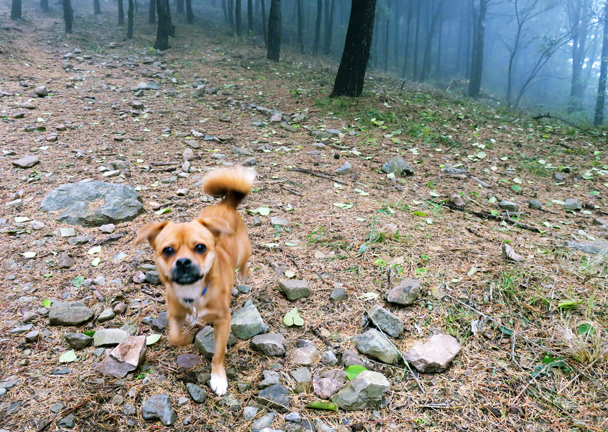 Kai (hiking guide Jake's dog) runs out of the forest for his photo shoot - Miaofengshan Super Loop, 2016/10/22