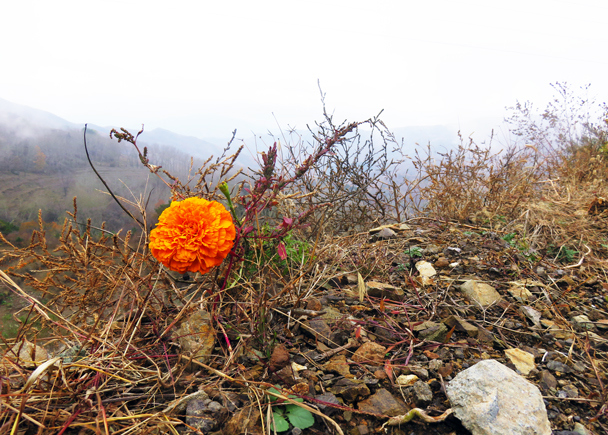 A pretty orange flower overlooks the valley - Miaofengshan Super Loop, 2016/10/22