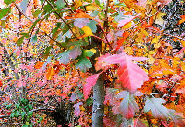 A close-up of the colors of fall - Miaofengshan Super Loop, 2016/10/22