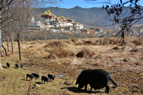 Pigs in front, and the Songzanling Monastery behind - Lijiang and Shangri-La, Yunnan Province, November 2016