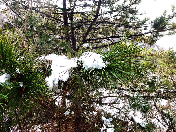 Clumps of snow in the pines - Silver Pagodas to De Tomb, 2017/3/25