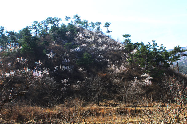 Pink flowers amidst the pines - Walled Village to Huanghuacheng Great Wall, 2017/4/02