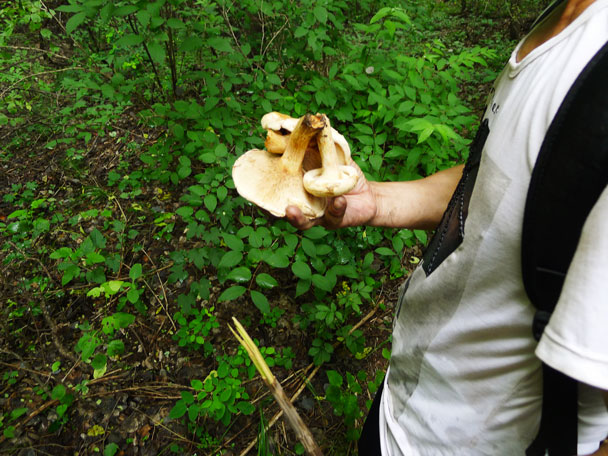 Mushrooms! Our local guide filled his pack with these - Shuitou Village Loop hike, 2017/7/15