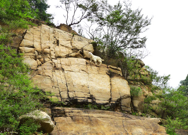 There are a lot of goats in the area - Yunmeng Gorge Swim and Explore, 2017/7/23
