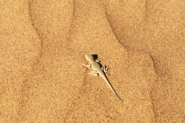 A little lizard - Alashan Desert Lakes and Temple, Inner Mongolia, 2017/10