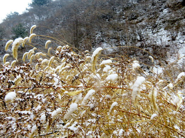 Dry leaves laden with spring snow - Gubeikou to Jinshanling snow hike, 2018/03/17