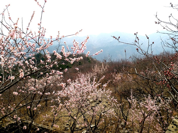 Pink flowers: wild peach - Huanghuacheng Great Wall to the Walled Village, 2018/03/29