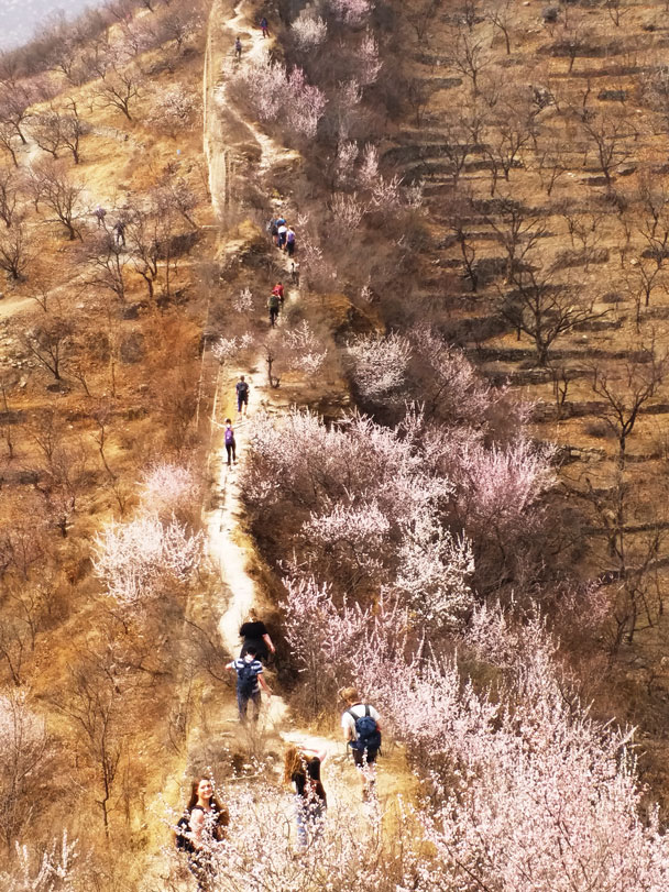 Beautiful wild peach blossoms lined the trail - Huanghuacheng Great Wall to the Walled Village, 2018/03/29