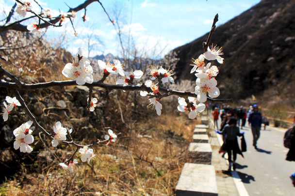 Peach blossoms by the road - Girl Scouts hike at Changyucheng, 2018/04/14
