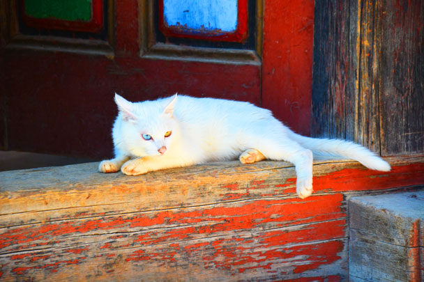 A cute white cat with one eye in blue and the other in yellow - Lijiang and Shangri-La, Yunnan Province, July 2018