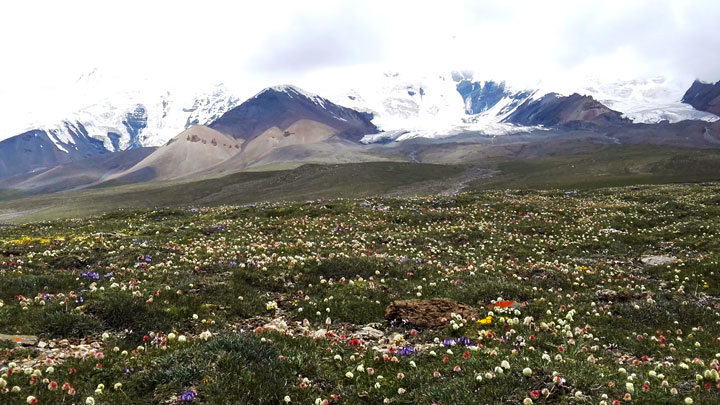 Wild flowers in the grasslands below the peaks of Amne Machin Snow Mountain