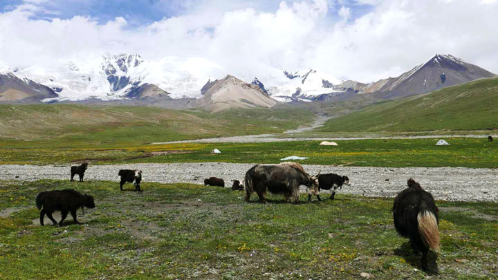 Yaks on high altitude meadows