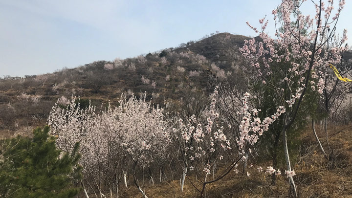 Apricot trees on the ridgeline