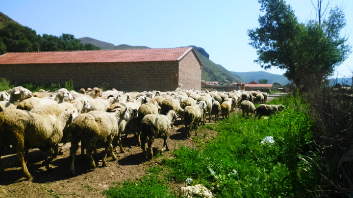 Sheep near a village
