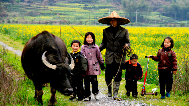 A farmer and family walking home with their water buffalo
