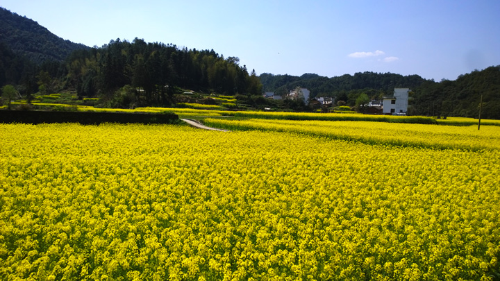 Fields of flowers surround a village in Wuyuan
